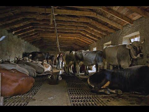 Привязный коровник на 16 дойных коров, для минифермы