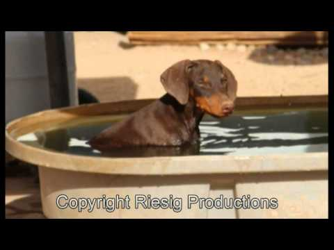 Red Male Doberman Puppy For Sale