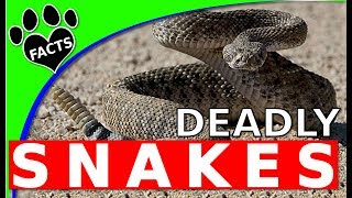 Most Venomous Snakes in the US - Deadliest Snakes in North America - Animal Facts
