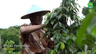 Lada Malonan, Varietas Unggul Dalam Upaya Mengembalikan Kejayaan Rempah di Kalimantan Timur