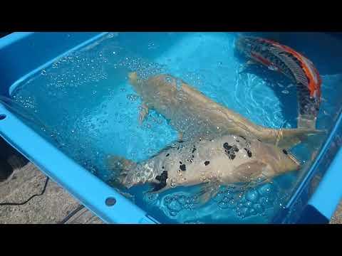 自作の錦鯉池-18-2019.5.30:秋水に加えて状態が特に悪い2匹を隔離。2時間後、九紋竜は死んでいました💧