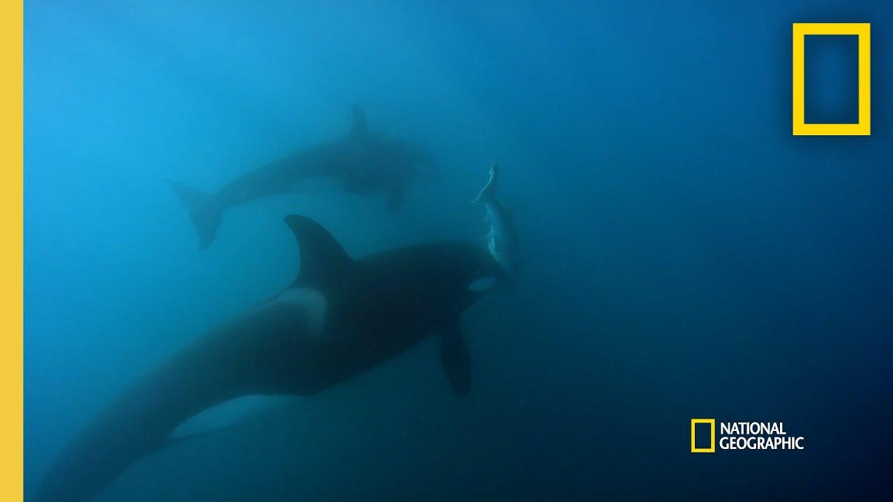Orca Hunt Seven Gill Sharks | Orca vs. Great White thumbnail