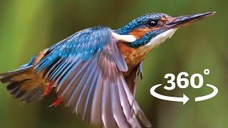 Flight of the Kingfisher VR / 360 Bird Flight Experience Wales