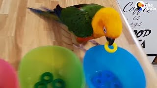 Smart Parrot Shows Off All His Tricks   The Dodo