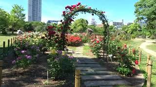 明石公園 バラ