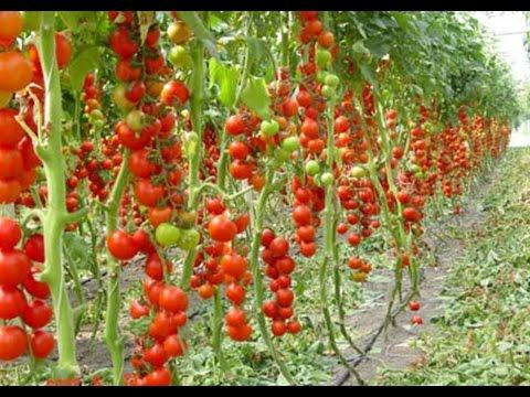5 правил выращивание помидоров в теплице, как вырастить томаты дома