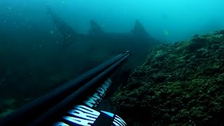 Bull Shark Encounter -  Spearfishing !!!