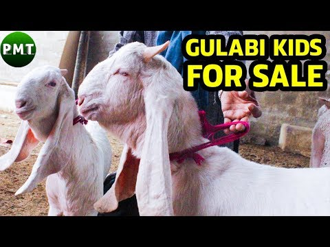 Gulabi Baby Goats Pair for SALE | Gulabi Kids for SALE | Gulabi