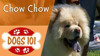 Dogs 101 - CHOW CHOW - Top Dog Facts About The CHOW CHOW