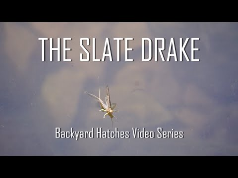 The Slate Drake (Iso) | fly fishing entomology