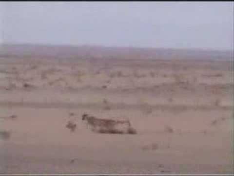 مقطع من مقناص الامير بندر بن عبدالله ال سعود والصيد بالفهد