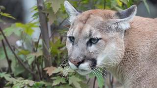 Zoo to You: Cougar Caturday