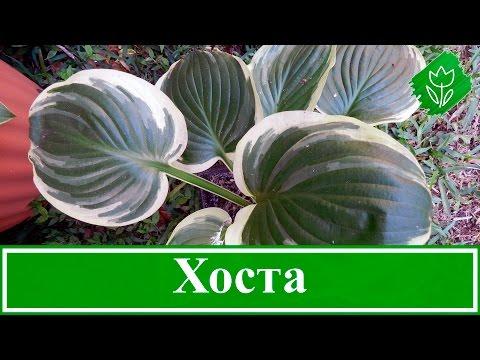 Цветок хоста – уход и посадка, хоста из семян