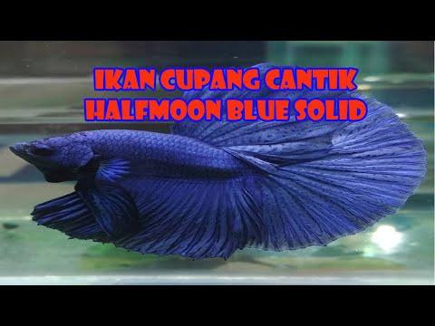 IKAN CUPANG CANTIK HALFMOON BLUE SOLID