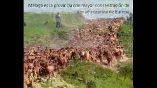 """""""EL USO DE UNA RAZA AUTÓCTONA (La Cabra Malagueña) COMO ELEMENTO DINAMIZADOR DEL DESARROLLO"""""""