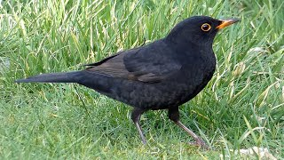 Male Blackbird Feeding - Garden Birds