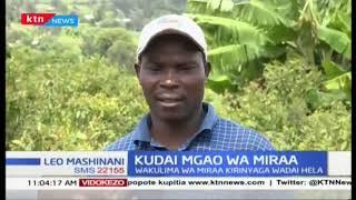 Wakulima wa miraa Kirinyaga wataka hella za wakulima