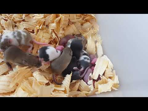 Rodent update: Breeding tips, materials, and care.