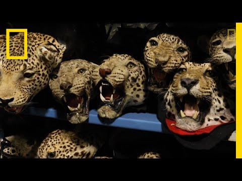 Inside the Black Market Sale of Jaguar Parts | National Geographic