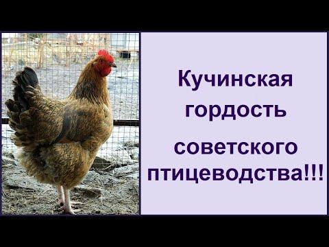 Кучинская порода кур - юбилейная 🐔 мясояичная несушка  🐔 Характеристика породы кур
