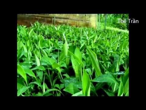 Nhân giống chuối cấy mô ở Đồng Nai ( Tissue culture banana