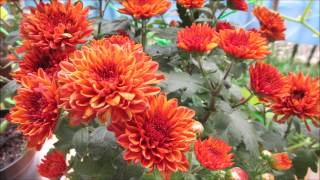 Pruning And Propagating Chrysanthemums In A Pot