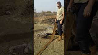 Camel rescue after spending 2 nights in water
