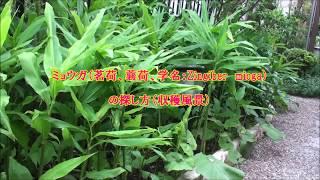 ミョウガ(茗荷)の収穫風景 他人より早く収穫のコツ 華之将の農作業