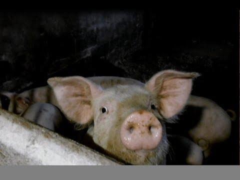 , title : 'Выращивание свиней в домашних условиях / Как заработать на содержании свиней