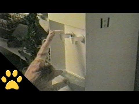 Chú mèo biết uống nước từ cây nước nóng lạnh, vãi mèo