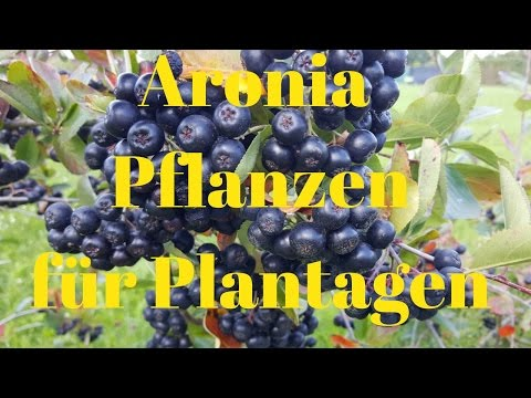 aronia pflanzen f r plantagen ertragreichste aronia sorte. Black Bedroom Furniture Sets. Home Design Ideas
