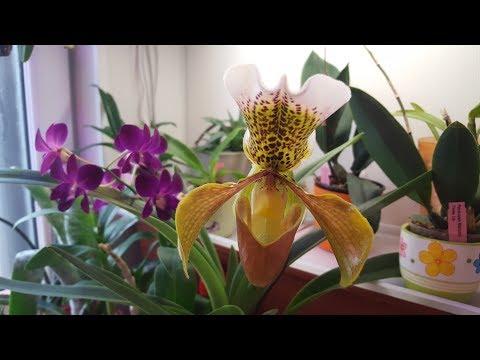 Зацвел долгожданный паф! ..и другие орхидейки )