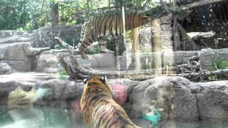 Tiger Battle at the Hogle Zoo