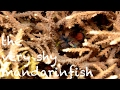 Diving - Philippinen 2017 - the very shy mandarinfish / der sehr scheue Mandarinfisch - Asien