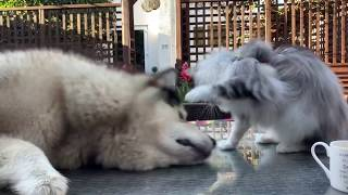 CHEEKY MALAMUTE STEALS FROM CAT. CAT FIGHTS BACK