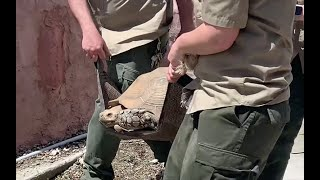 Zoo to You: Tortoises move to their summer exhibit