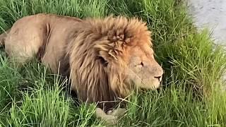 У льва Малыша все хорошо !