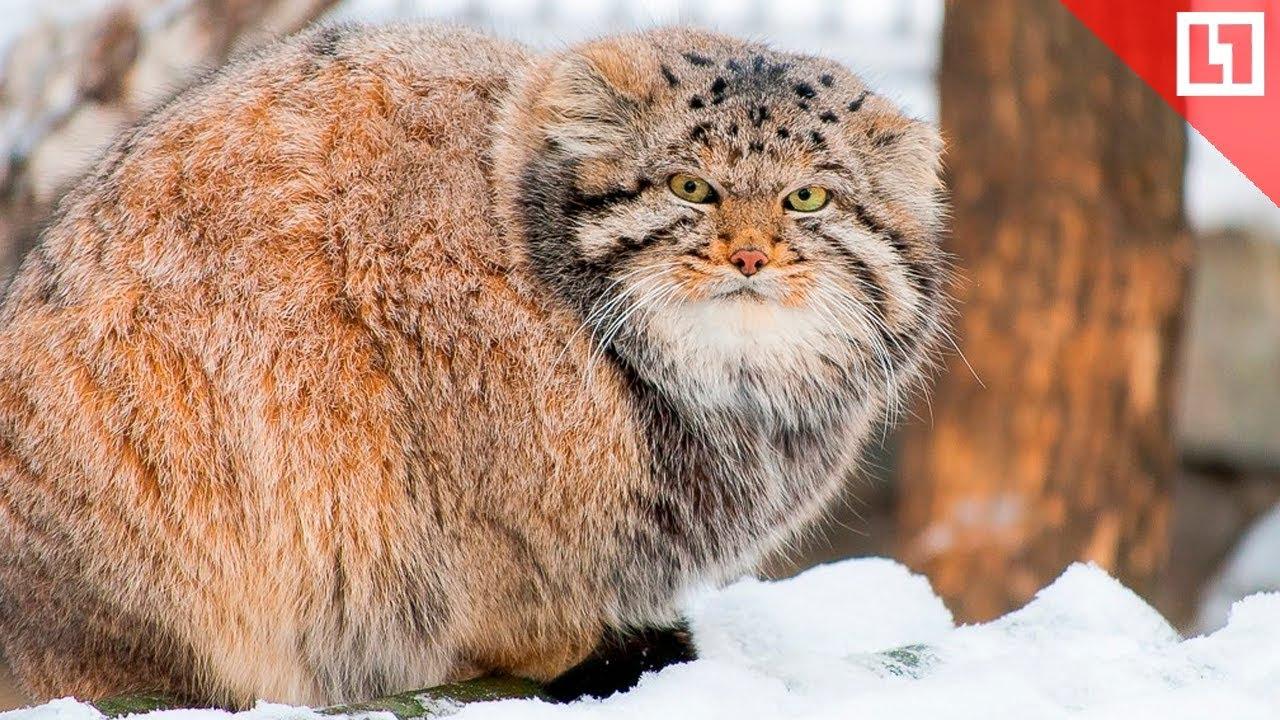 Манул в московском зоопарке встречает весну
