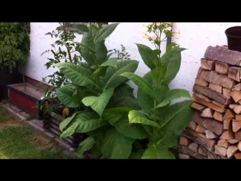 Tabakpflanzen 2013 , Müllhäuschen bemalt