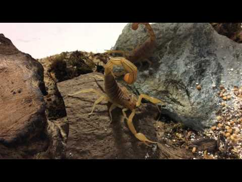 Indian Red Scorpion (Hottentotta tamulus gangeticus)
