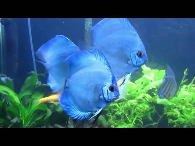 Blue Discus 90 gallons Tank