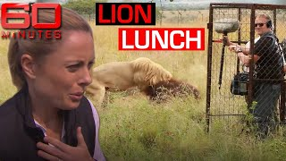 Male lion goes after TV film crew | 60 Minutes Australia
