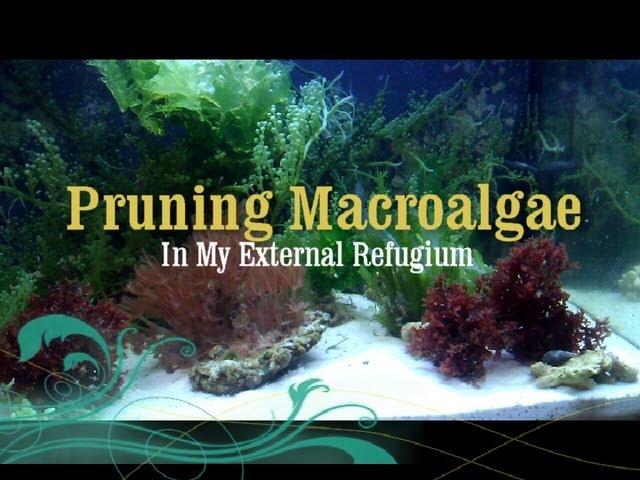 Reef Tank: How to Prune Macro Algae in a Refugium