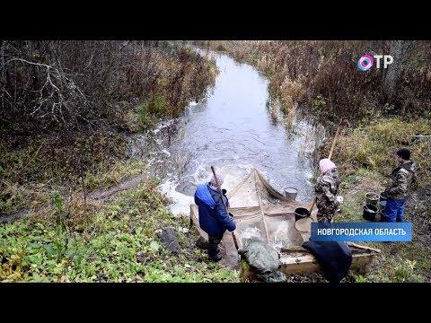 Отлов и выпуск мальков начали на рыборазводном предприятии Новгородской области