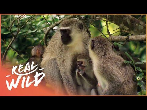 Street Monkeys - Mating Season [Documentary Series] | Real Wild