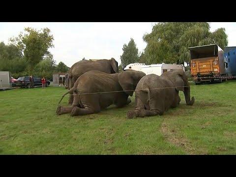 العرب اليوم - شاهد: قانون جديد يحيل 3 فيلة سيرك دنماركي إلى التقاعد