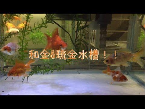 【金魚水槽】和金&琉金