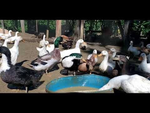 , title : 'Duck Farming In Jamaica - 8 Things You Should Know Before Buying Your First Duck 🦆 ⬇️Description ⬇️