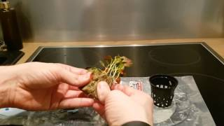 Ludwigia Glandulosa Emersed