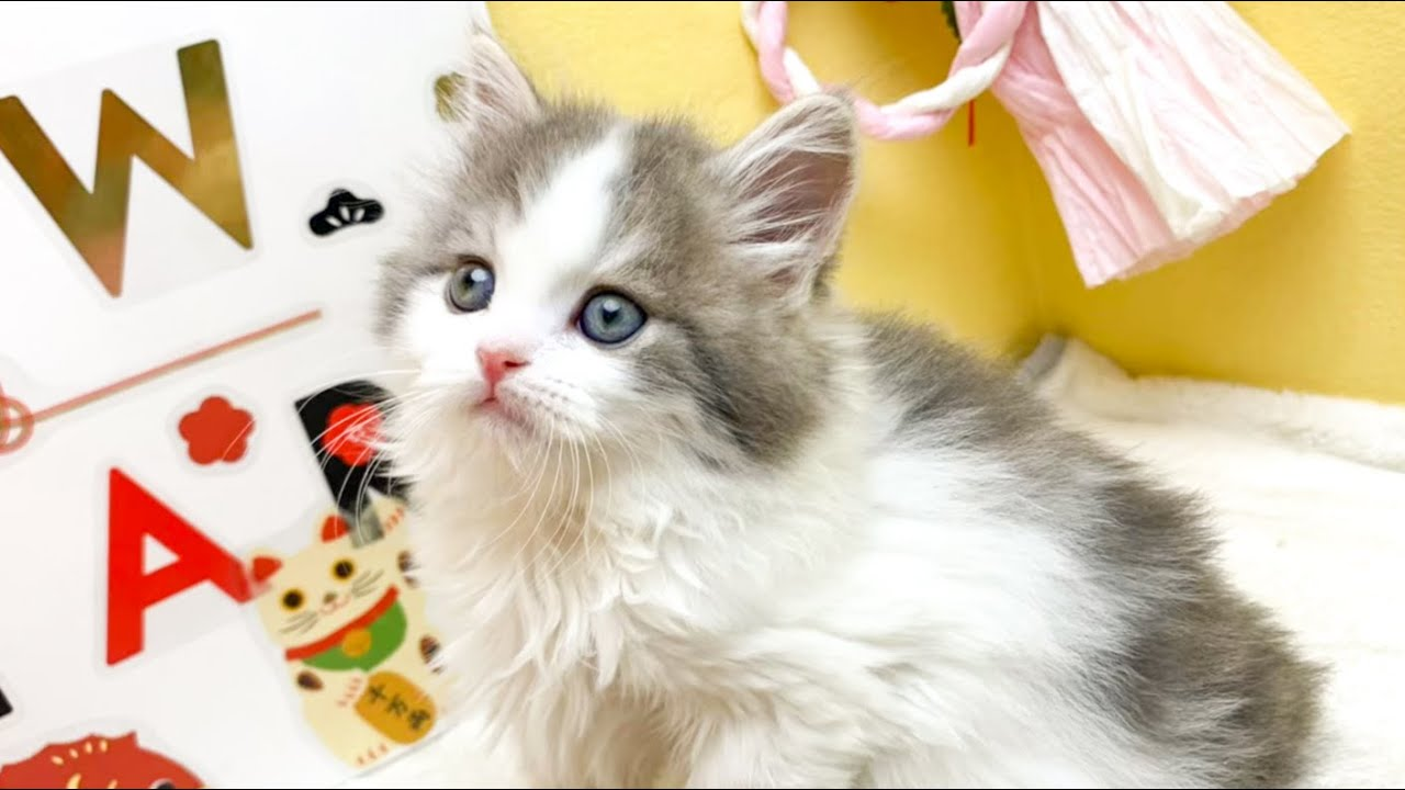 子猫がうちにやってきた!【立ち耳スコティッシュ】/I got a kitten.